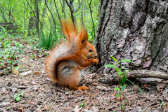Czerwona wiewiórka z dokrętką w lesie Zdjęcia Stock