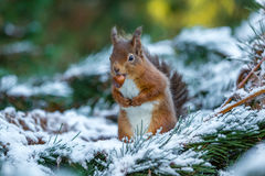 Czerwona wiewiórka z hazelnut Zdjęcie Royalty Free