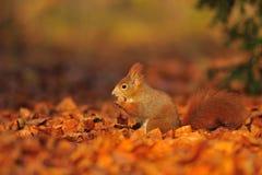 Czerwona wiewiórka z hazelnut na liściach Fotografia Stock