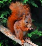 czerwona wiewiórka Obrazy Stock