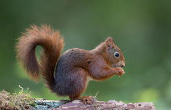 Czerwona wiewiórka Zdjęcia Royalty Free