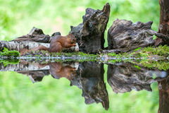 Czerwona wiewiórka, eekhoorn Fotografia Stock