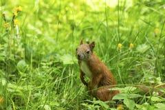 Czerwona wiewiórka w gęstej zielonej trawie Natura Fotografia Stock