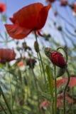 Czerwona świrzepa 2 Obraz Stock
