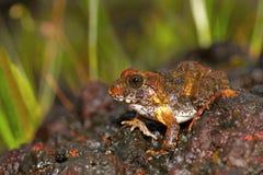 Czerwonawa Grzebie żaba, Zakerana rufescens, Chorla Ghat, maharashtra, India Obraz Stock