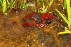 Czerwonawa Grzebie żaba, Zakerana rufescens, Chorla Ghat, maharashtra, India Zdjęcia Royalty Free