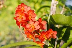 Czerwonawe lub pomarańczowe orchidee obrazy stock