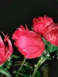 Czerwonawe róże Fotografia Royalty Free