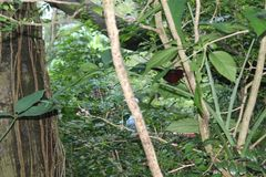 Czerwonawy barwiony Beaked Tanager, Ramphocelus carbo, południe - amerykański ptak śpiewający, umieszczał na gałązce w deszczu, w Fotografia Royalty Free