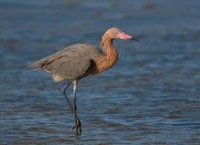 Czerwonawy Egret zdjęcie royalty free