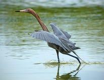 Czerwonawy egret kroczy w wodzie Floryda zatoka przy St Petersb Zdjęcia Stock