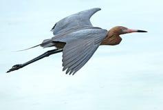 Czerwonawy egret lata nad zatoką meksykańską, Floryda Zdjęcie Stock