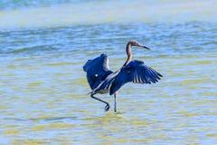 Czerwonawy Egret Na polowaniu zdjęcia stock