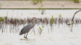 Czerwonawy egret połów Kuba zbiory