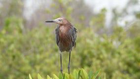 Czerwonawy egret połów Kuba zbiory wideo