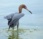 Czerwonawy egret połów w zatoce meksykańskiej, Floryda Obraz Royalty Free
