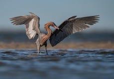 Czerwonawy Egret portret zdjęcie stock