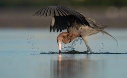 Czerwonawy Egret portret zdjęcia stock
