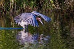 Czerwonawy Egret połów Zdjęcia Stock
