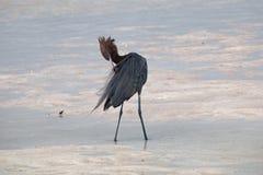 Czerwonawy Egret preenng w Isla Blanca pływowym nawadnia blisko Cancun Obrazy Stock