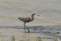 Czerwonawy Egret spaceruje wzdłuż linii brzegowej Zdjęcia Royalty Free