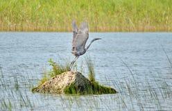 Czerwonawy Egret w dzikim fotografia royalty free