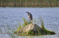Czerwonawy Egret w dzikim zdjęcie stock