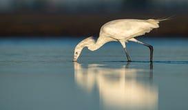 Czerwonawy Egret w Floryda fotografia stock