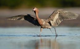 Czerwonawy Egret w Floryda zdjęcie royalty free