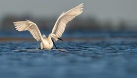 Czerwonawy Egret w Floryda obrazy royalty free