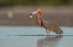 Czerwonawy Egret w Floryda zdjęcie stock