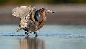 Czerwonawy Egret w Floryda fotografia royalty free