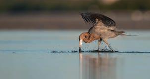 Czerwonawy Egret w Floryda zdjęcia stock