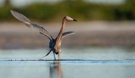Czerwonawy Egret w Floryda obraz royalty free