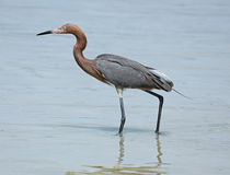 Czerwonawy egret watuje wzdłuż plaży na Floryda zatoki wybrzeżu Obrazy Stock