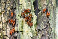 Czerwone ścigi siedzą na barkentynie drzewo Zdjęcia Stock