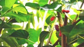 czerwone świeże owoc Zdjęcia Royalty Free