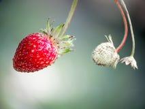 czerwone świeże truskawki Dzika mała truskawka drewna obraz stock