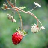 czerwone świeże truskawki Dzika mała truskawka drewna obrazy stock