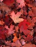 czerwone. Zdjęcie Royalty Free
