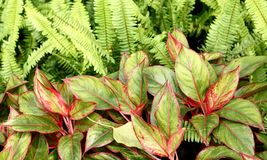 Czerwone Aglaonema rośliny Obraz Royalty Free