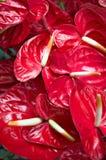 czerwone anthuriums Obraz Stock