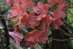 Czerwone azalie Zdjęcie Royalty Free