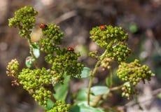 Czerwone biedronki na roślinie Fotografia Royalty Free