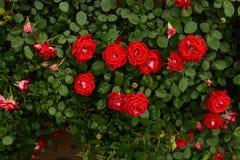 Czerwone Chińskie róże z ciemnozielonym tłem Zdjęcie Royalty Free