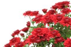 Czerwone chryzantemy Zdjęcia Royalty Free