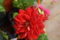 Czerwone cynie Elegans Fotografia Stock