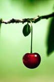 czerwone czereśniowej dojrzała wiosna Zdjęcia Stock