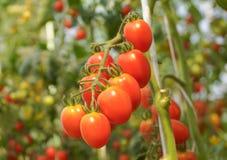 czerwone czereśniowej pomidor obrazy royalty free