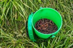 Czerwone dżdżownicy Dendrobena w nawozie, ziemia w zielonym round słoju w g fotografia stock